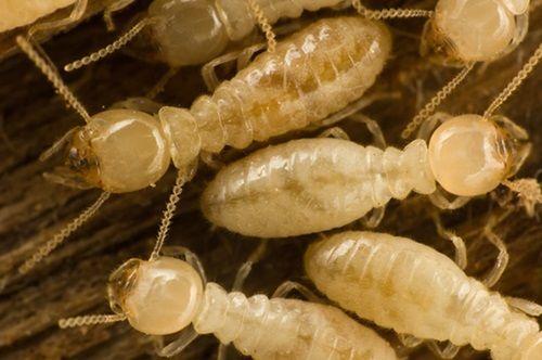 Beware Of Termites in Firewood