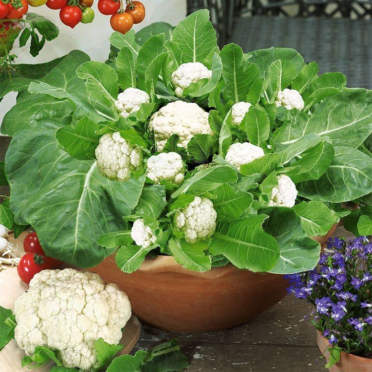 Cauliflower In A Pot