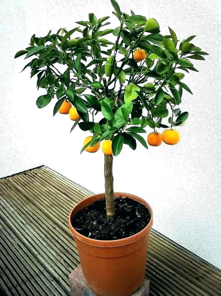 Lemons Do Well In Pots