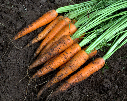 Carrots Grown In Planters