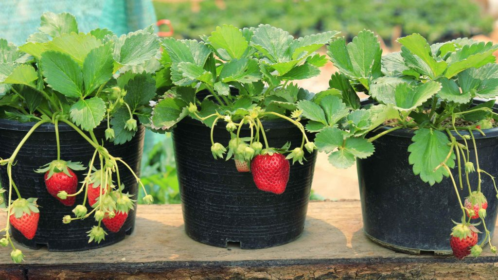 strawberries-grown-in-pots-1024x576